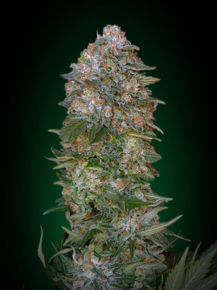 Advanced Seeds - Critical Soma (fem.)
