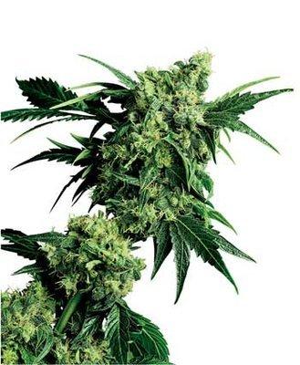 Sensi Seeds - Mr. Nice G13 x Hash Plant ® (reg.) 03950