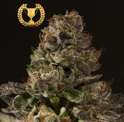 Devil's Harvest Seeds - Strawberry Sour Diesel (fem.) 04359