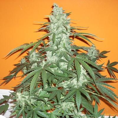 Mdanzig Seeds - Sour 60 (auto/reg.) MDG002