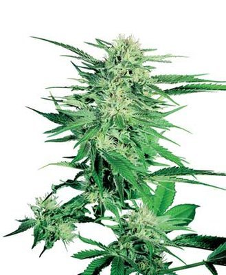Sensi Seeds - Big Bud ® (reg.) 03943