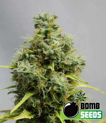Bomb Seeds - Big Bomb (reg.) 04643