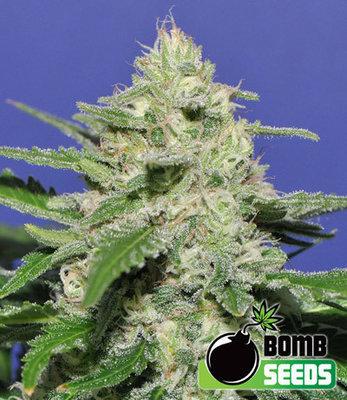 Bomb Seeds - Widow Bomb (reg.) 04657
