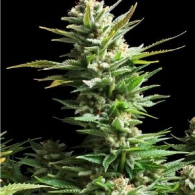 Amaranta Seeds - Amaranta Amnesia Haze (fem.) 01067