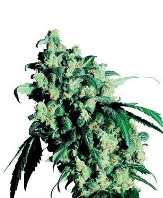 Sensi Seeds - Super Skunk ® (reg.) 03925