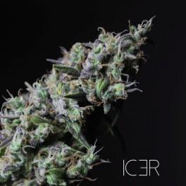R-Kiem Seeds - Icer (fem.) 02346