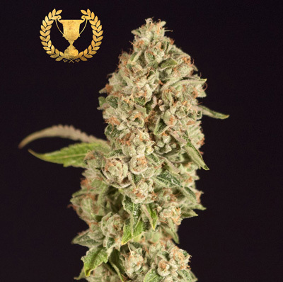 Devil's Harvest Seeds - OG Reek'n (reg.) 04355