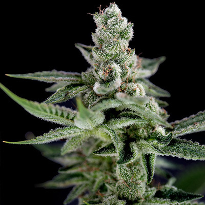 Crockett Family Farms - Crockett's Haze (reg.) 02735