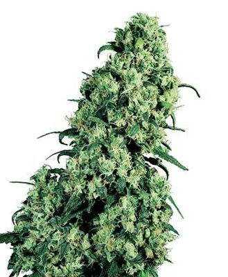 Sensi Seeds - Skunk #1 ® (reg.) 03916