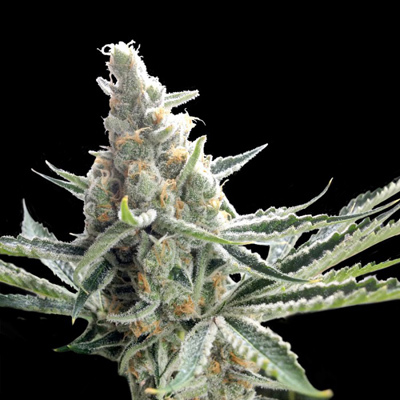 Crockett Family Farms - Crockett's Tangie (reg.) 02737