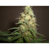 Amaranta Seeds - Amaranta Easy Bud (auto/fem.) 01070