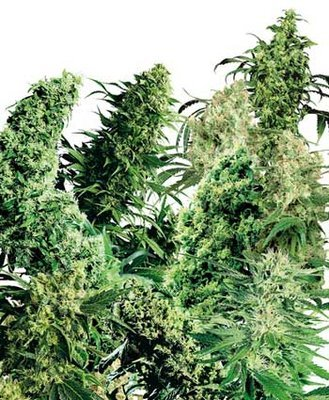 Sensi Seeds - Indoor Mix ® (reg.) 03933