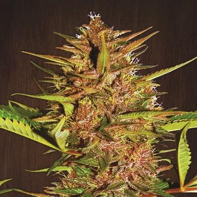Ace Seeds - Pakistan Chitral Kush (reg.) 02796