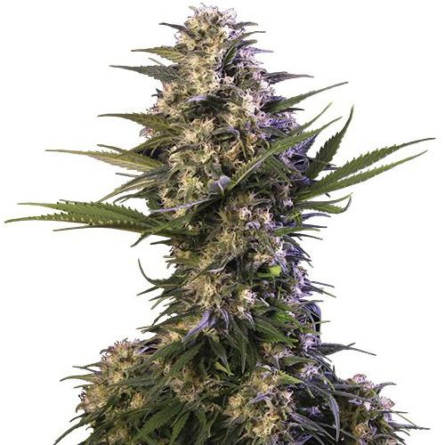 Buddha Seeds - Buddha Kraken (fem.)