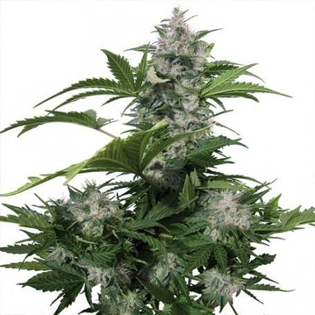 Buddha Seeds - White Dwarf (auto/fem.)