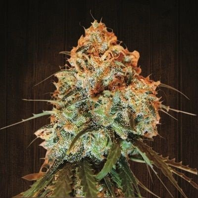 Ace Seeds - Golden Tiger (reg.) 02779