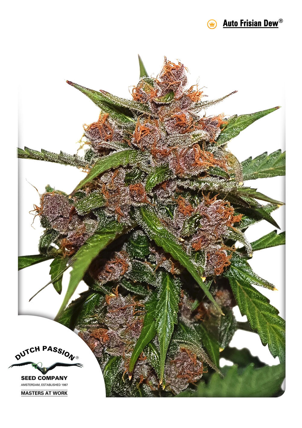 Dutch Passion - Auto Frisian Dew (auto/fem.)