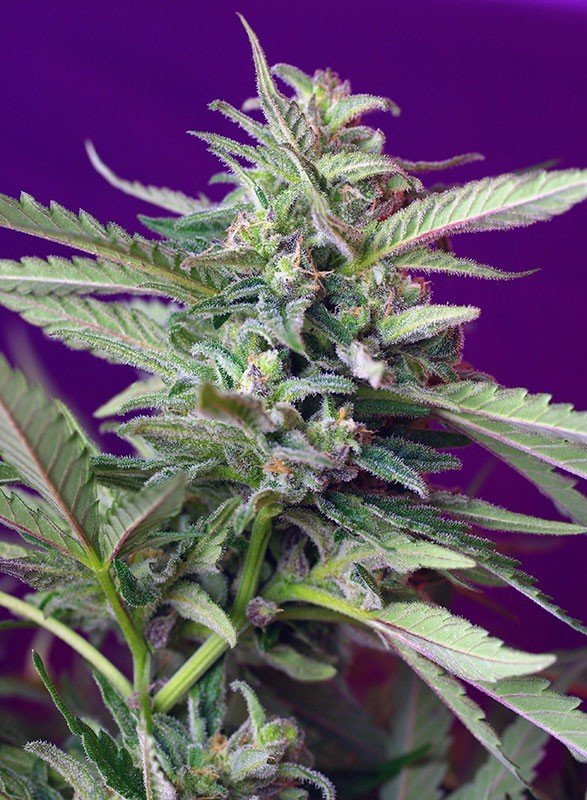 Sweet Seeds - S.A.D. Sweet Afgani Delicious Auto ® (auto/fem.)