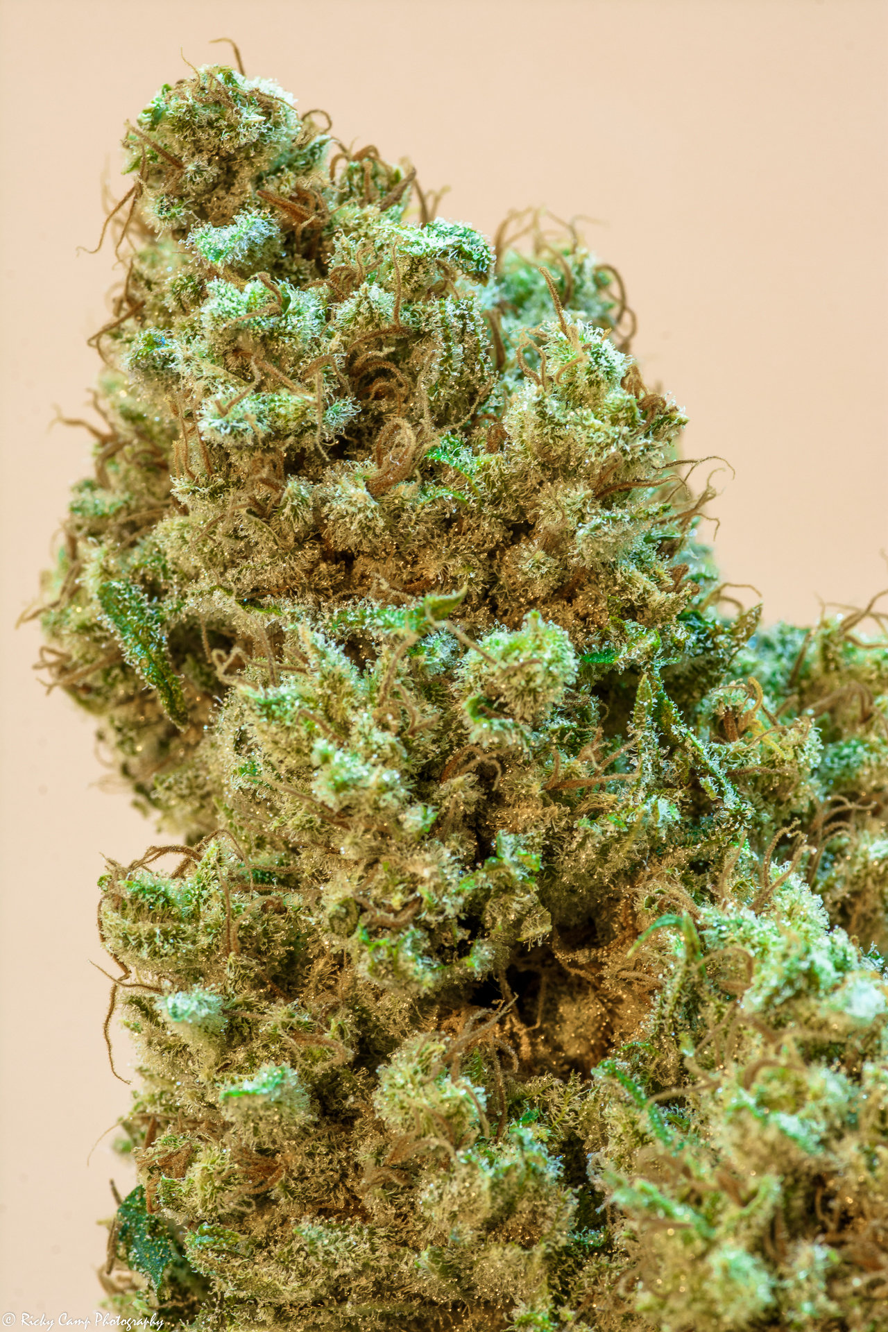 Brothers Grimm Seeds - Princess Haze (reg.)