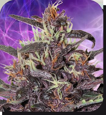 Buddha Seeds - Buddha Purple Kush (auto/fem.)