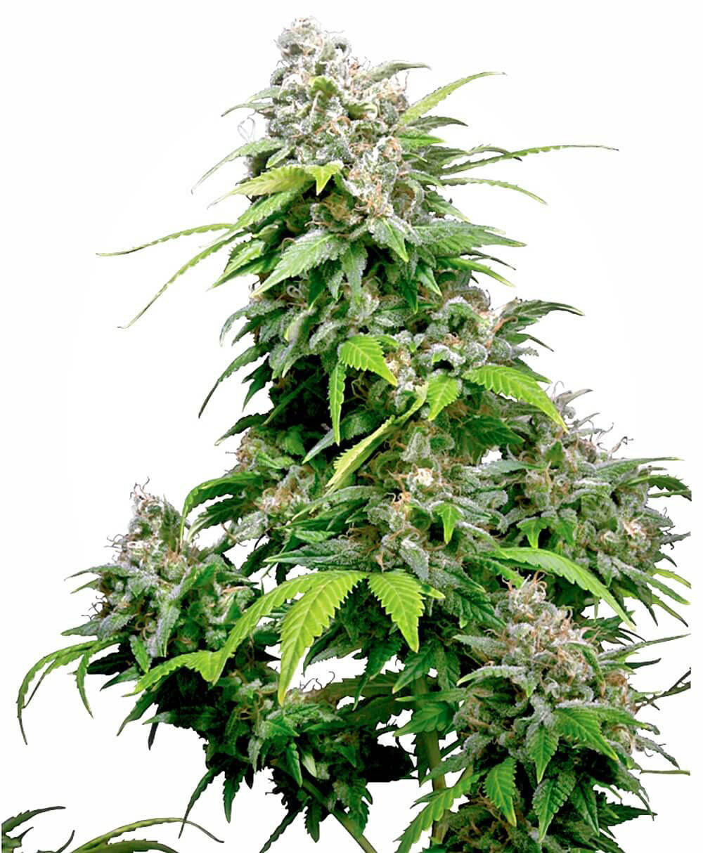 Sensi Seeds - California Indica (fem.)