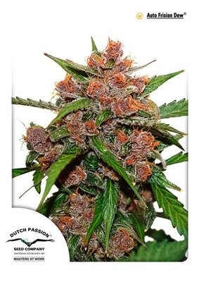 Dutch Passion - Auto Frisian Dew (auto/fem.) 01470
