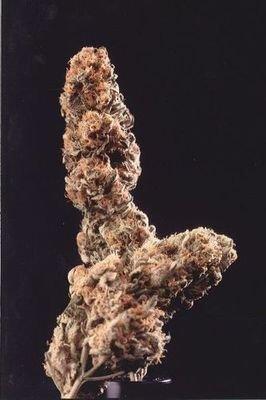 Феминизированные семена марихуаны K.С. Brains Seeds - Afghani Special 01673