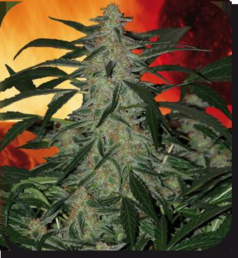Buddha Seeds - Deimos (auto/fem.) 01333
