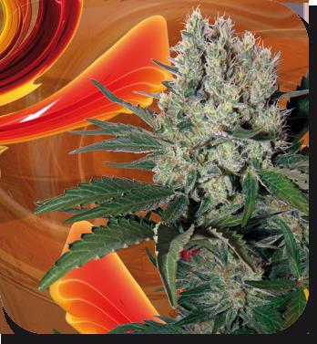 Buddha Seeds - Syrup (auto/fem.) 01339