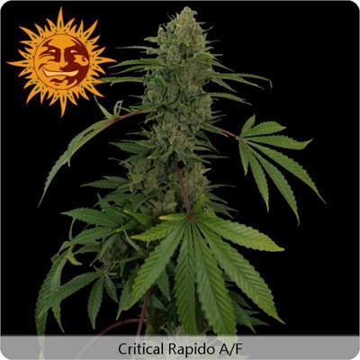 Barney's Farm - Critical Rapido (auto/fem.) 04104