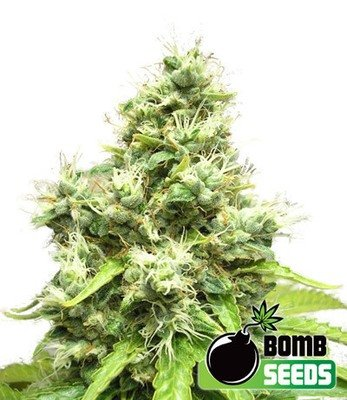 Bomb Seeds - Medi Bomb #1 (fem.) 00299