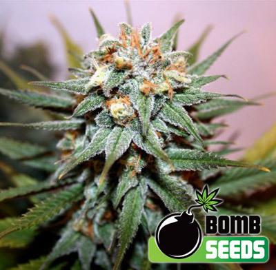 Bomb Seeds - Hash Bomb (fem.) 00297