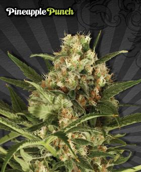 Auto Seeds - Pineapple Punch (auto/fem.) 00226