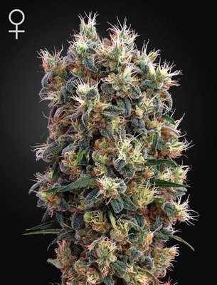Green House Seeds - The Church (fem.) 02673