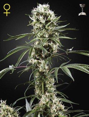 Green House Seeds - Super Lemon Haze (fem.) 04201