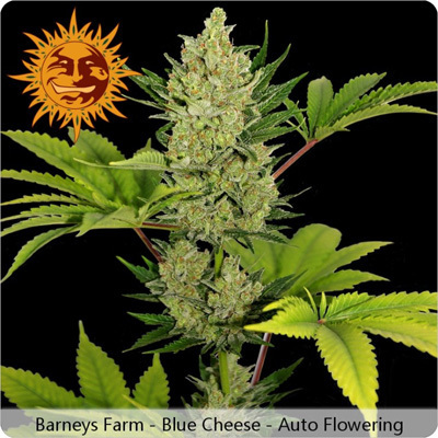 Barney's Farm - Blue Cheese Auto (auto/fem.) 04109