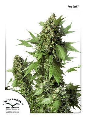 Dutch Passion - Auto Duck (auto/fem.) 04904