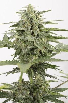 Dinafem - Industrial Plant Autoflowering CBD (auto/fem.) 03861