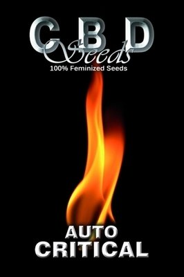 CBD Seeds - Auto Critical (auto/fem.) 02662