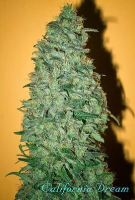 Mandala Seeds - California Dream (fem.) 04996