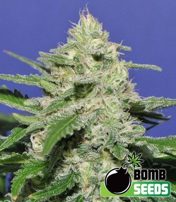 Bomb Seeds - Widow Bomb (fem.) 00302