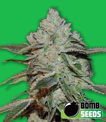 Bomb Seeds - Atomic (fem.) 00303