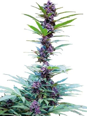 Cannabiogen Seeds - Deluxe Mix (fem.) 01595