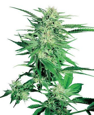 Sensi Seeds - Big Bud (fem.) 03895