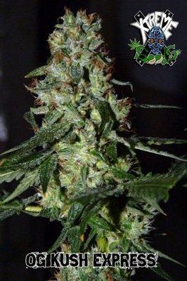 Xtreme Seeds - OG Kush Express (reg.) 03872