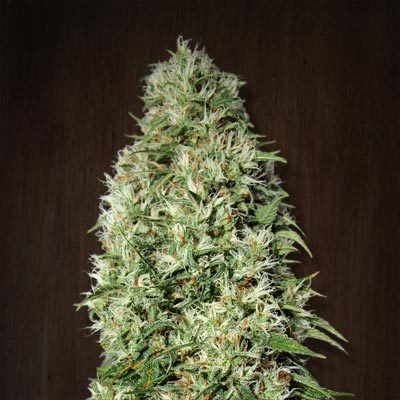 Ace Seeds - Orient Express (fem.) 02773