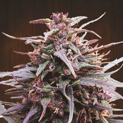 Ace Seeds - Purple Haze x Malawi (fem.) 02784