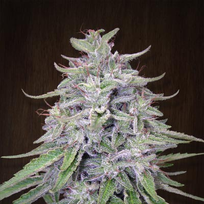 Ace Seeds - Bangi Haze (fem.) 03134