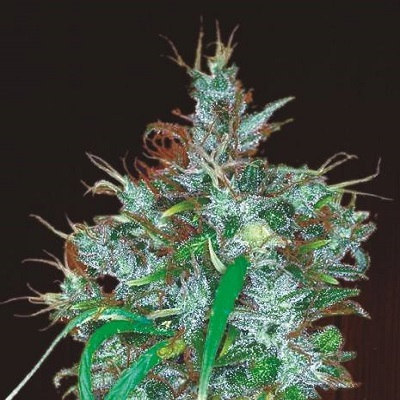 Ace Seeds - Panama Haze (fem.) 02783