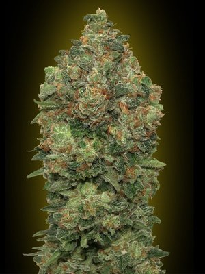 Advanced Seeds - Auto Critical Soma (auto/fem.) 03518